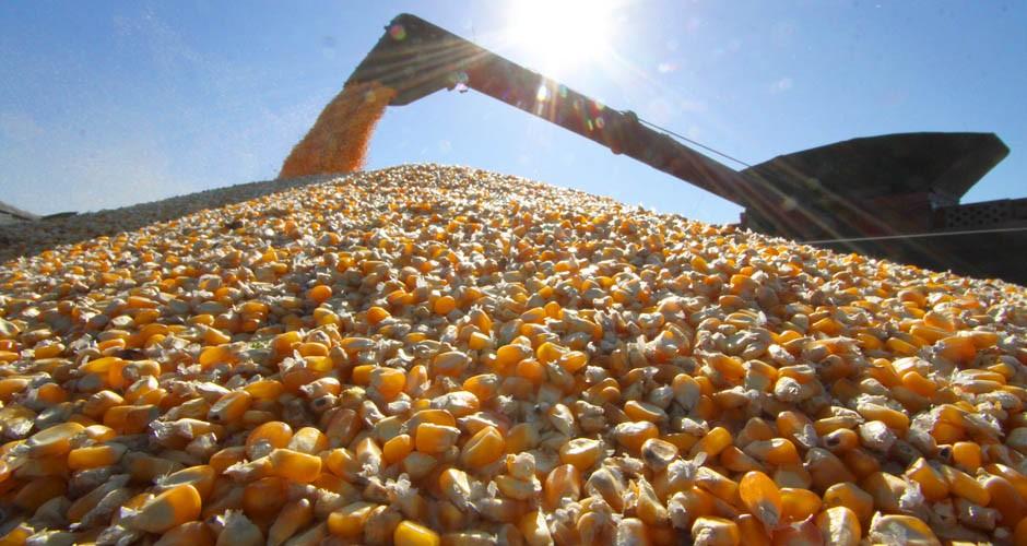 Conab projeta redução de 25% na safra de milho no estado catarinense