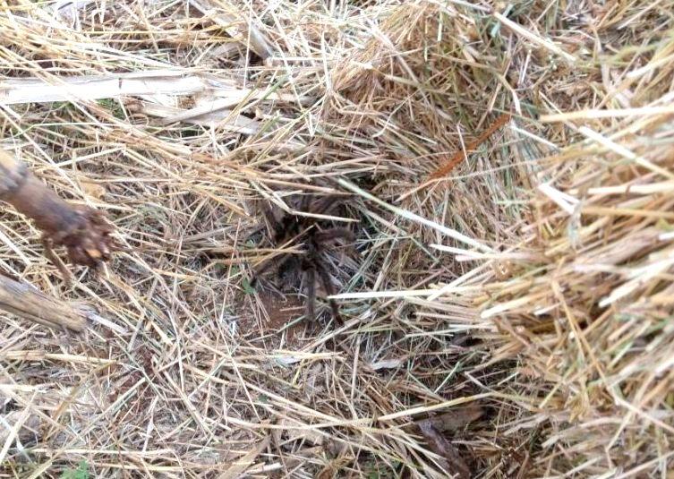 Aranhas gigantes são encontradas na área rural de município no Oeste