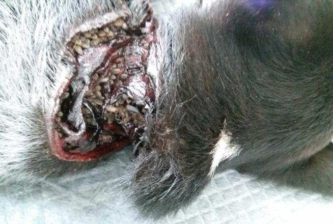 Cachorro vítima de maus-tratos é resgatado com ajuda da PM e voluntários