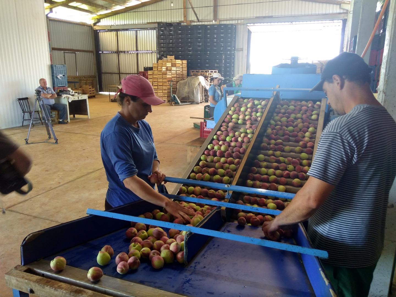 Epagri orienta produtores sobre o cultivo de frutíferas no inverno