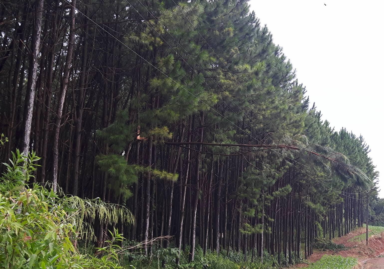 Árvores de pinos caem sobre a rede e deixam cidade sem energia elétrica