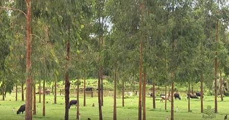 Família de agricultores é referência em silvipastoril no Extremo Oeste