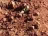 Clima prejudica desenvolvimento da plantação de tabaco na região Oeste catarinense