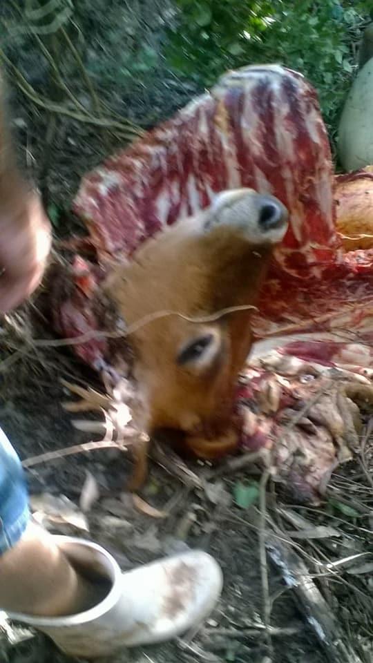 Agricultores denunciam furto e abate de gado no interior de Iporã do Oeste