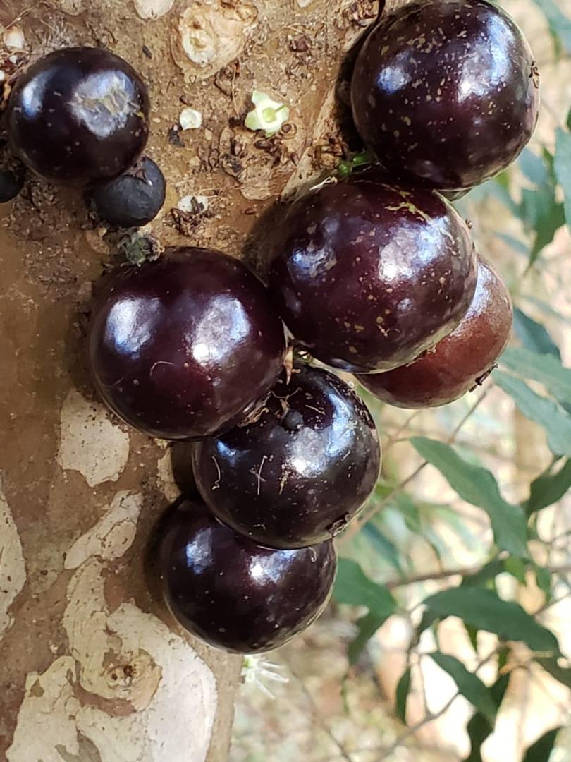 Jabuticaba: fruta 100% brasileira e fonte de minerais e vitaminas C e E