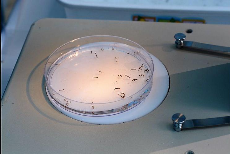 Saúde registra grande número de focos do mosquito Aedes Aegypti em SMOeste