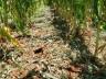 Vídeo: Temporal de granizo destrói lavoura de fumo no interior de Descanso