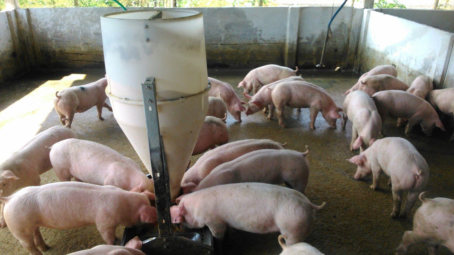 Custos da suinocultura em SC levam alguns produtores a desistir da atividade