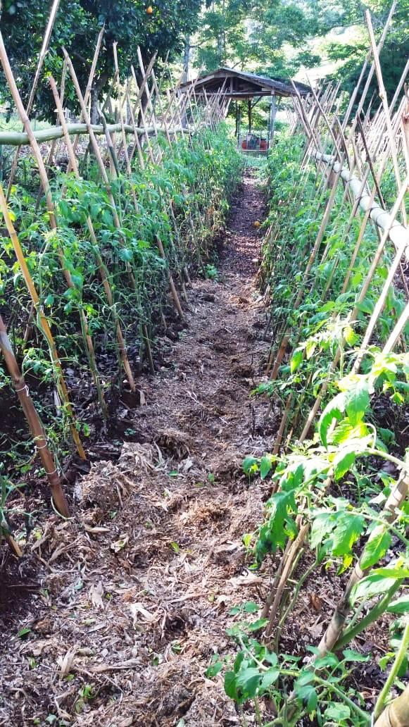 Condições climáticas prejudicam cultivo de tomates no interior de Mondaí