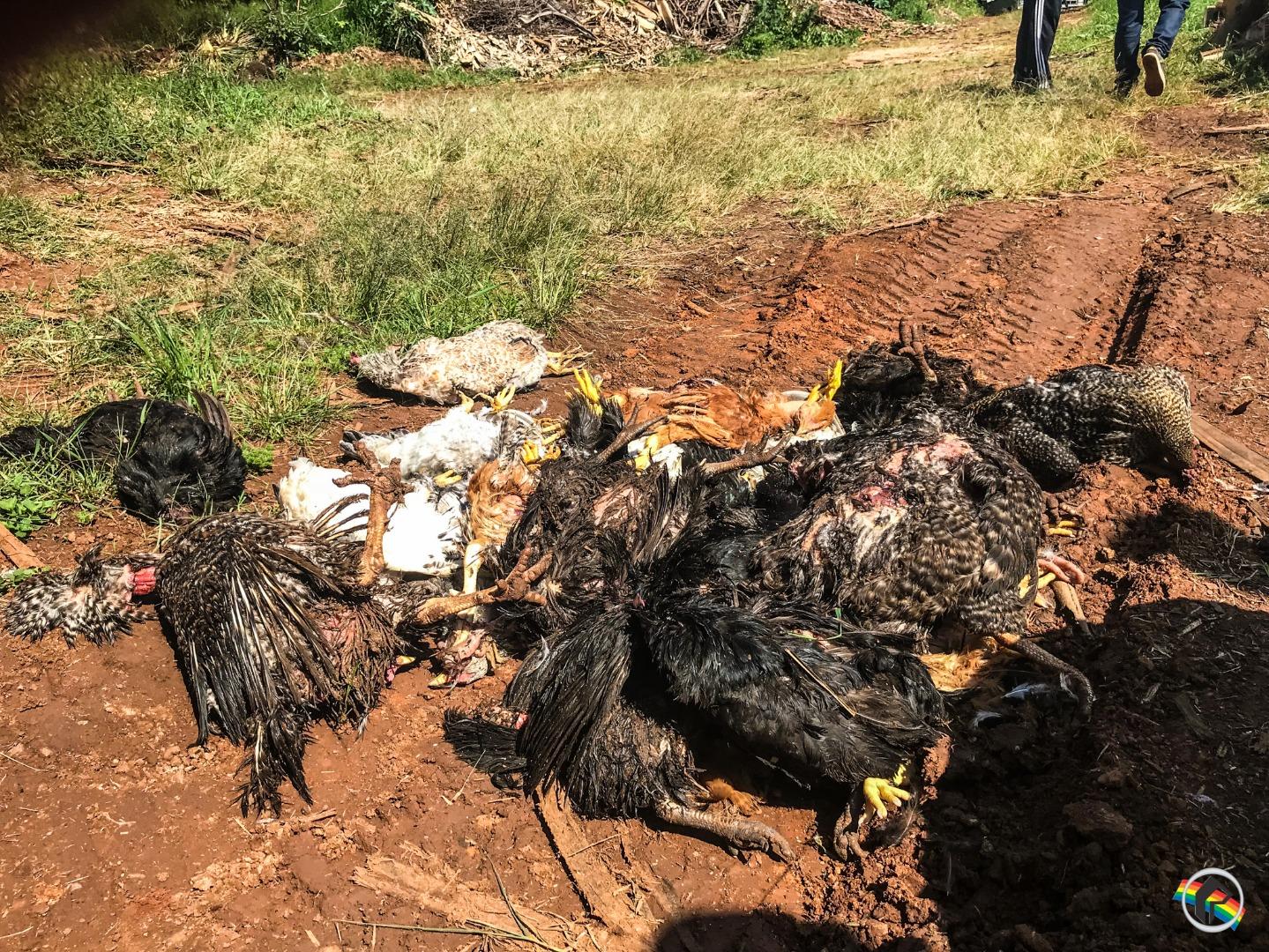 VÍDEO: Mais de 60 animais são encontrados mortos no município