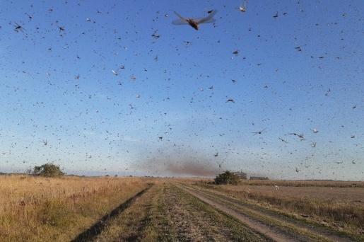 VÍDEO: Nuvem de gafanhotos chega à Argentina e se aproxima do Brasil