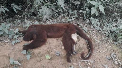 Morte de 64 macacos em menos de um mês acende alerta para risco de Febre Amarela em SC