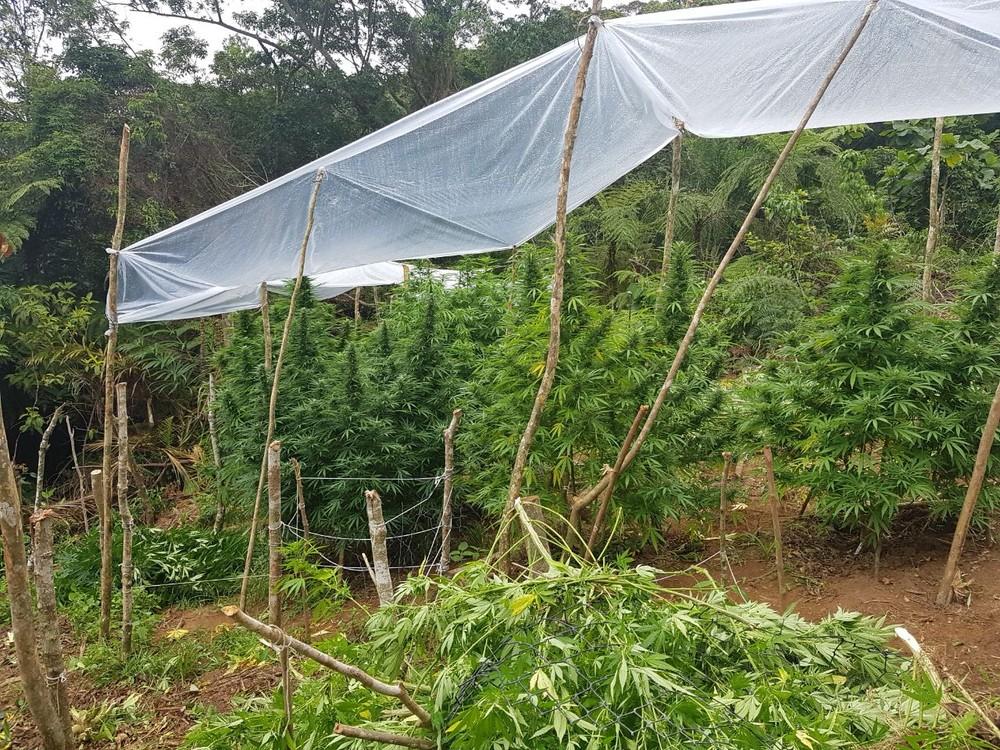 Polícia encontra plantação com mais de 100 pés de maconha em SC