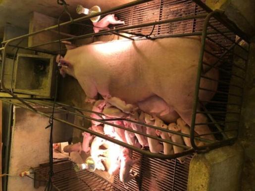 Porca dá à luz a 34 leitões em um único parto em Santa Catarina