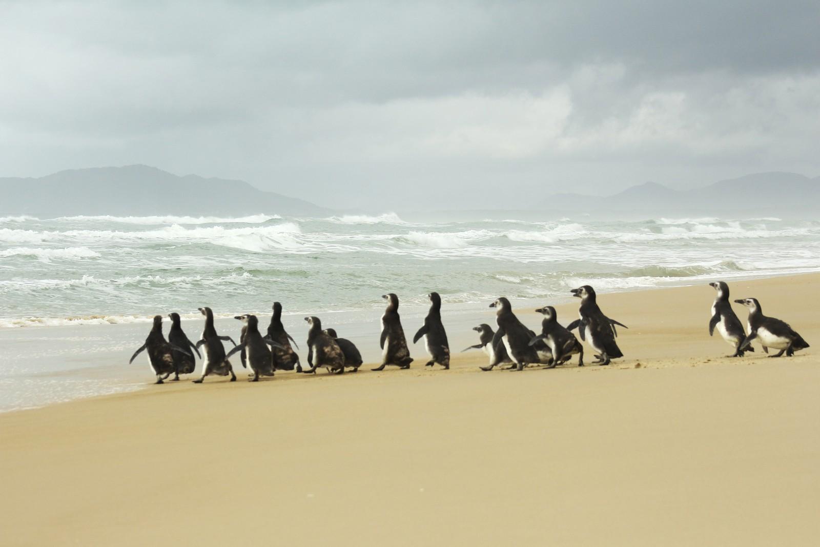 Cerca de 20 pinguins são soltos em praia de Florianópolis