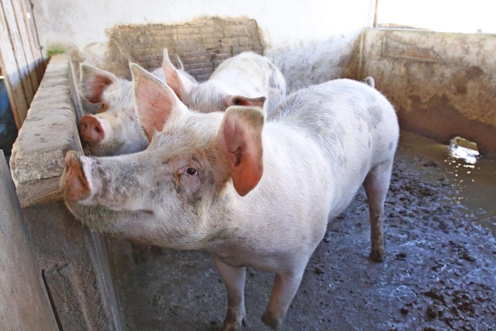 Estado reduz ICMS para produtores de suínos pelos próximos cinco meses