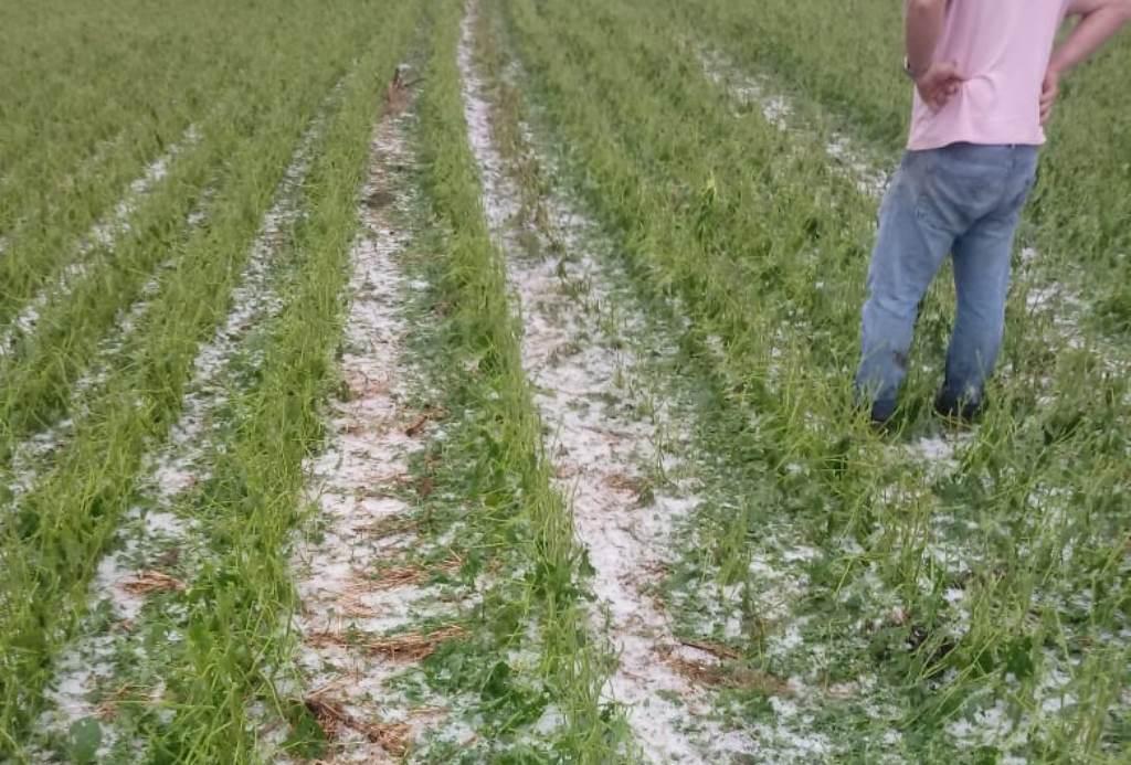 Chuva de granizo provoca prejuízos em lavoura de soja  no Oeste