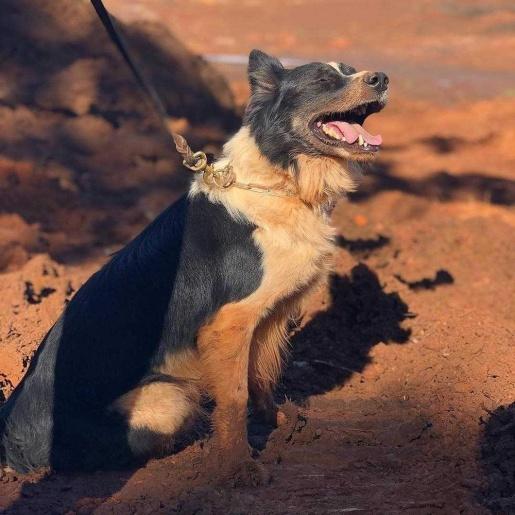 Cão que atuou nas buscas em Brumadinho e Mariana morre por problemas de saúde