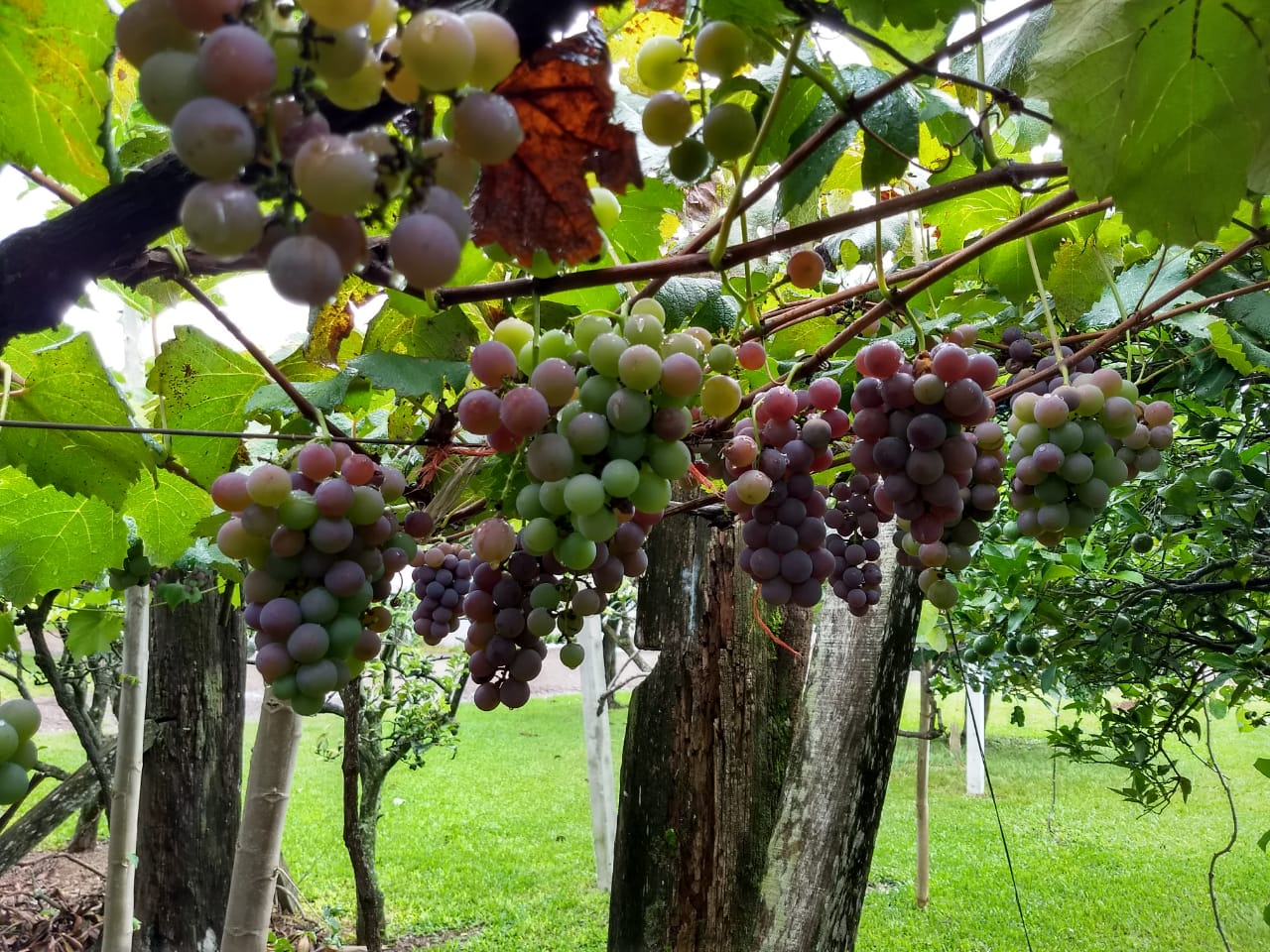 Há 18 anos família cultiva uvas em Guarujá do Sul