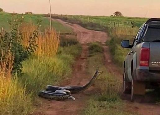 VÍDEO: Cobra de 7 metros tenta 'dar o bote' em caminhonete no MS
