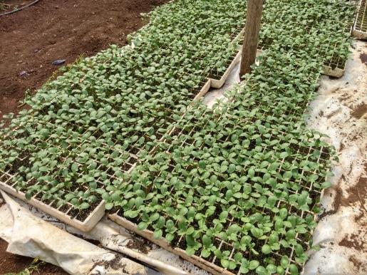 Produtor de SJCedro trabalha no replantio das mudas de melancia